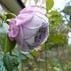 庭の薔薇。。。
