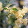 木香薔薇モッコウバラ,Rosa banksiae
