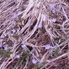 早春の花・・キクザキイチゲ
