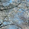 3月 春の花散歩(関東 : 乙女椿 / ムスカリ / レンギョウ / 雪柳 / コブシ / ハナニラ / 桜 )
