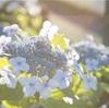 super takumarと紫陽花まつり