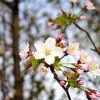 桜の咲く季節に想うこと