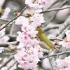 桜の上の楽園