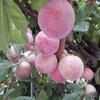 庭植えの果樹 ~ スモモ「メスレー」