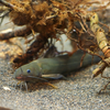 アリアケギバチ Tachysurus aurantiacus