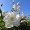 山下公園のバラ園とイチョウ並木!横浜散策スポットとバラの見頃時期