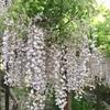 奈良・京都 5月初旬 春日大社 萬葉植物園 藤 、天満宮 キリシマツツジの群生