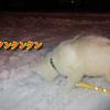 シベリアンハスキー子犬の初散歩