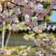 仁和寺の御室桜、ツツジ、もみじと金剛華菩薩像