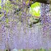 いろんな種類の藤とツツジが楽しめる名所!!前橋市の『須賀乃園』に行ってきた