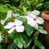 夏さに強い花「ニチニチソウ」と「ペンタス」。