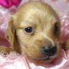 ダックスフンドのブリーダーの育てる子犬を販売ドッグリアン東京