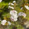 こんな時でも春たけなわ〜東京都農林総合研究センターのシャクナゲ、里桜など。