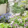 ペチュニアとベランダ一坪ガーデン