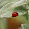 幸せを呼ぶてんとう虫秘話 てんとう虫が現れると害虫が消える~初夏の屋上生活 その2~