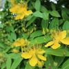 ヒペリカムは初夏の花