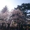 春の桜巡り2019