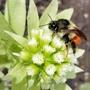 バンブルビーの女王、フキの花、ヘレボア