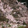 今年の桜は長く見れて良い(⌒▽⌒)