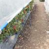 ミニトマト(アイコ)畝の除草