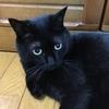 【追記あり】黒猫ルナ、夜間救急動物病院へ。『血栓症』の疑いと診断されました。