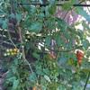 大葉とミニトマトの成長記録④