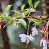「佐久の季節便り」、「十月桜」の葉桜が、大雨に打たれて…。