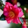 二十四節気七十二候 「立冬 山茶始開」(2017/11/7)