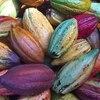 【豆知識】カカオとココアの違いは?栄養面での違いは?【カカオ豆の処理方法に違いあり】
