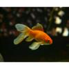 金魚は英語でゴールドフィッシュ