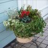 冬花植え替え