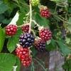 木苺はすぐそばに (ロンドンでブラックベリー)