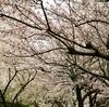 とりあえず桜撮っときました