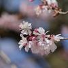 DMC-GX8で「早咲き桜」を撮りました。