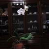 白い胡蝶蘭咲きました*