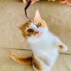 【猫学】マンチカン立ちとは?マンチ立ちの意味、理由、注意点をまとめました。