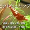 ピントシュリンプの特徴や飼育方法・混泳・餌・繁殖を詳しく解説!