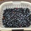 町田の「相原ブルーベリー農園」で初のブルーベリー摘み体験です!