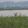 梅雨空の印旛沼を飛ぶヨシゴイ