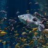 ナイルティラピアOreochromis niloticus niloticus