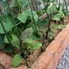 【家庭菜園】我が家のキュウリ、ナス、ミニトマトの育成経過
