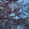 近所の桜、こいのぼり、家系ラーメン(4月25日のお天気と雑記)