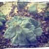 植え替え後、野バラの精