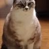 我が家のかわいい美人な猫 シャム猫MIX