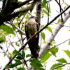 桜に木の枝から毛虫をさがすツツドリ