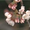 大阪でも20日に桜の開花が発表される。過去1位タイの早さ!!
