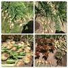家庭菜園  玉ねぎの収穫♩