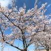 桜満開!今日はプチお花見!