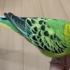 【鳥さん】発情を知る方法