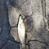 ロマンを求めて釣り#591 初夏のウグイング